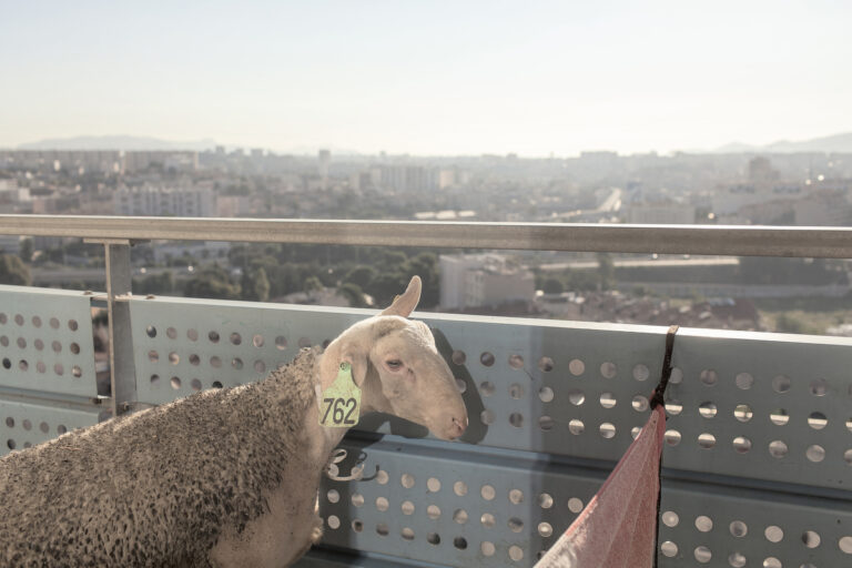 A lamb in a balcony of an apartment in the neighborhood of Felix Pyat seconds before to be slaughtered by the muslim ritual on the holiday day of the lamb, Eid al-Adha. Marseille, department of Bouches-du-Rh™ne and region of Provence-Alpes-Cote d'Azur, France on June 20, 2015. Marseille is a city with enormous potential, it opens out onto the Mediterranean and it has the character of a cosmopolitan city with a young, multicultural population. This potential and the desire of the ruling class to give the city a new image, earned it the title of European Capital of Culture. The message emitted by the political organizations was clear. The year 2014 is crucial for Marseille. This is its opportunity to rid itself of the stigma of violence and crime that has hung over it, to move on from the social violence that pervades its streets and the obvious economic inequality. Under the label of Cultural Capital, earned after a financial investment of over 600 million euros, Marseille has experienced a huge urban transformation, with the main focus being the rehabilitation of the most emblematic areas and the creation of new cultural facilities in the old port. Today, with the cranes gone and the construction finished, the inhabitants of Marseille wake up with a bittersweet sensation, aware of how, despite initial promises, financial resources have been used to beautify chosen areas and collectives, leaving the disadvantaged neighborhoods totally excluded and accentuating the economic and socio-cultural contrasts.